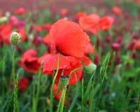 Paisaje maravilloso, opinión majestuosa sobre los cloveris italianos y campo floreciente de la amapola en un día de verano El cam Fotos de archivo