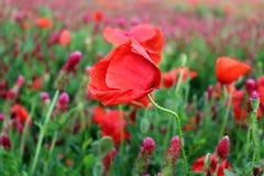Paisaje maravilloso, opinión majestuosa sobre los cloveris italianos y campo floreciente de la amapola en un día de verano El cam Fotografía de archivo libre de regalías