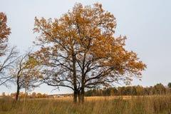 Paisaje melancólico del otoño Árbol solo casi deshojado en el campo de descoloramiento por la tarde nublada imagenes de archivo