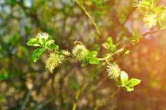 Paisaje natural de la primavera - brotes mullidos amarillos del sauce Fotos de archivo