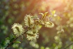 Paisaje natural de la primavera - brotes mullidos amarillos del sauce Fotos de archivo libres de regalías