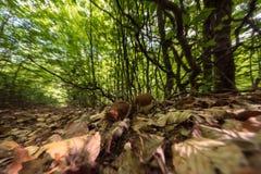 Paisaje natural del bosque con las setas comestibles del boleto fresco Foto de archivo libre de regalías
