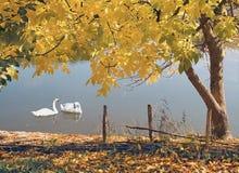 Paisaje natural del otoño con los cisnes imágenes de archivo libres de regalías