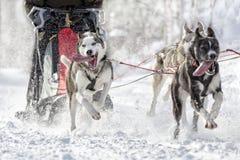 Paisaje nevado de la raza del trineo del perro Fotos de archivo libres de regalías
