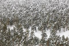 Paisaje nevoso del bosque de la madera de pino de la montaña del invierno Navacerrada, SP Fotografía de archivo libre de regalías