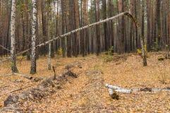 Paisaje otoñal con el abedul quebrado en un bosque Fotos de archivo