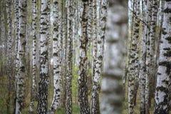 Paisaje panorámico natural hermoso - la arboleda del abedul del verano por la tarde difundió luz del sol Fotografía de archivo libre de regalías