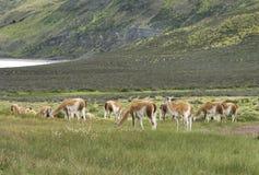 Paisaje patagón con vicuñas, el lago y las montañas. Foto de archivo