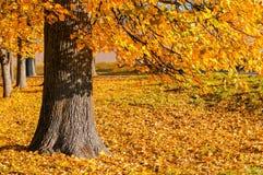 Paisaje pintoresco del otoño - árbol de extensión del otoño con las hojas de otoño amarillas caidas bajo luz del sol Foto de archivo
