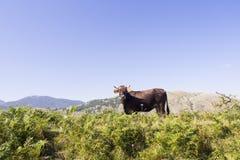 Paisaje Pollino de la vaca Imágenes de archivo libres de regalías