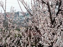 Paisaje Ramas del albaricoque en la floración imágenes de archivo libres de regalías