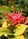 Paisaje rojo del jardín de las flores y de los brotes del ixora Fotos de archivo libres de regalías