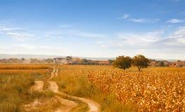 Paisaje rural agradable con el campo de maíz en Sunny Day Fotos de archivo