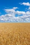Paisaje rural, campo de trigo debajo del cielo azul Fotografía de archivo libre de regalías
