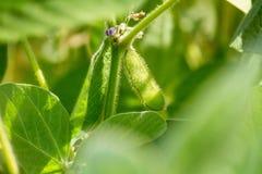 Paisaje rural - coloque la glicocola de la soja máxima en el sol del verano de los rayos fotografía de archivo libre de regalías