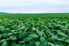 Paisaje rural con el campo verde fresco de la soja soja Fotografía de archivo libre de regalías
