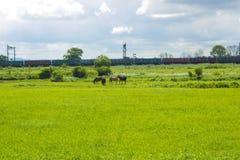 Paisaje rural con la manada de los caballos que pastan en campo verde Fotos de archivo