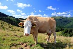 Paisaje rural con la vaca Imagen de archivo