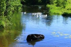 Paisaje rural con la vaca que se lava en el río Imágenes de archivo libres de regalías