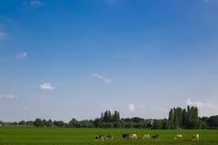Paisaje rural con las vacas Fotos de archivo