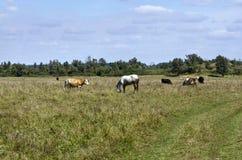 Paisaje rural con las vacas y los caballos Imagen de archivo libre de regalías