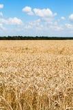 Paisaje rural con trigo maduro del od del campo Imágenes de archivo libres de regalías