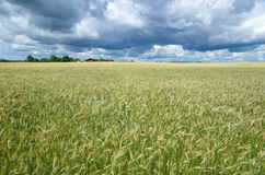 Paisaje rural con un campo del grano Imagen de archivo libre de regalías