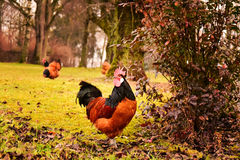Paisaje rural con un gallo de Vorwerk Fotos de archivo