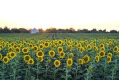 Paisaje rural de la puesta del sol con un campo de oro del girasol Fotos de archivo libres de regalías