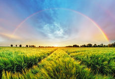 Paisaje rural del arco iris con el campo de trigo en puesta del sol Fotografía de archivo