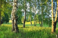Paisaje rural del verano con el bosque y el prado en puesta del sol abedul Imagen de archivo libre de regalías