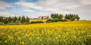 Paisaje rural del verano con los campos del girasol y los campos verdes olivas cerca de Oporto Recanati en la región de Marche, I Fotos de archivo libres de regalías