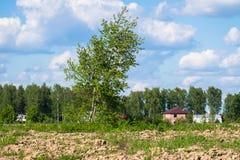 Paisaje rural del verano Las malas hierbas numerosas y el árbol de abedul joven en el campo se encendieron por luz del sol Fotos de archivo libres de regalías