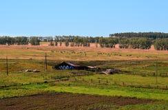 Paisaje rural del verano Vacas que pastan, tierra de labrantío cultivada Fotografía de archivo