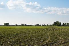 Paisaje rural holandés con los campos de maíz Fotos de archivo libres de regalías