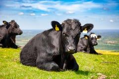 Paisaje rural inglés adentro con el pasto del catt de la carne de vaca de Aberdeen Angus fotos de archivo libres de regalías
