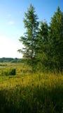 Paisaje rural rústico hermoso de los árboles de abedul y la hierba, los campos, y el bosque en el fondo Fotos de archivo