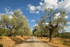 Paisaje rural toscano Olive Trees hermosa con el cielo nublado azul Estación de verano, Toscana Imagenes de archivo