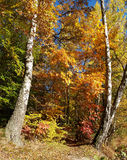 Paisaje solar del otoño con dos abedules Fotografía de archivo