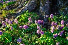 Paisaje soleado de la primavera - halleri del Corydalis o solida del Corydalis en la floración Fotografía de archivo libre de regalías