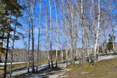 Paisaje soleado de la primavera temprana en la arboleda del abedul Imagen de archivo libre de regalías