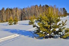 Paisaje soleado del invierno con la colocación verde joven de los árboles de navidad Foto de archivo libre de regalías