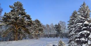 Paisaje soleado del invierno en el bosque después de nevadas Imágenes de archivo libres de regalías