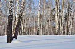 Paisaje soleado del invierno en un bosque del abedul Imágenes de archivo libres de regalías