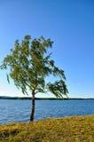 Paisaje soleado del verano - abedul ruso en fuerte viento Fotos de archivo