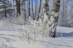 Paisaje soleado pintoresco del invierno en el bosque nevoso del abedul Imagen de archivo