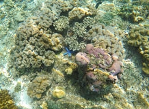 Paisaje subacuático con las estrellas de mar azules en corales grises Pescados de la estrella en parte inferior de mar Foto de archivo