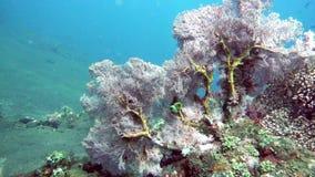 Paisaje subacuático del mar, de los pescados y de los corales tropicales de diverso color metrajes