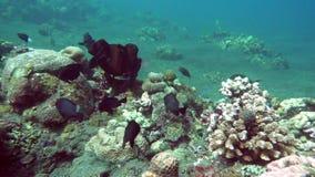 Paisaje subacuático del mar, de los pescados y de los corales tropicales de diverso color almacen de video