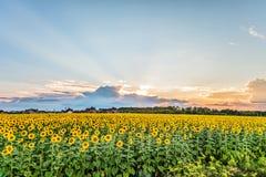 Paisaje suburbano La vista de la puesta del sol sobre los girasoles florecientes coloca Imágenes de archivo libres de regalías